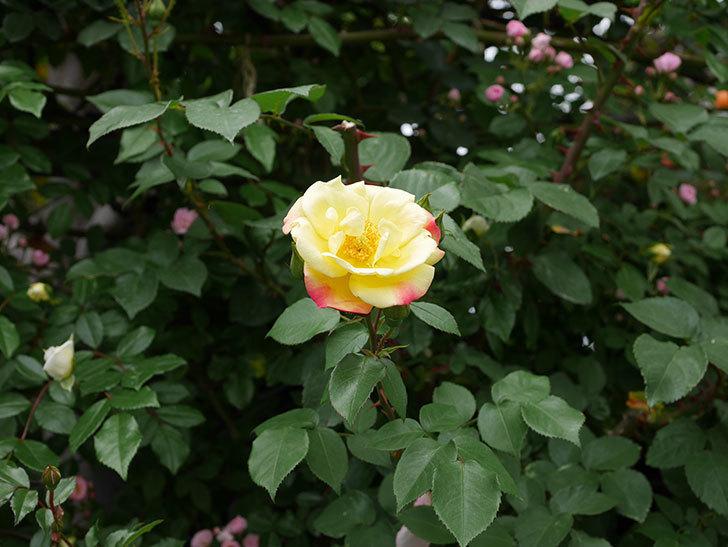 黄色とオレンジのバラ(木立バラ)が咲いた。2019年-3.jpg