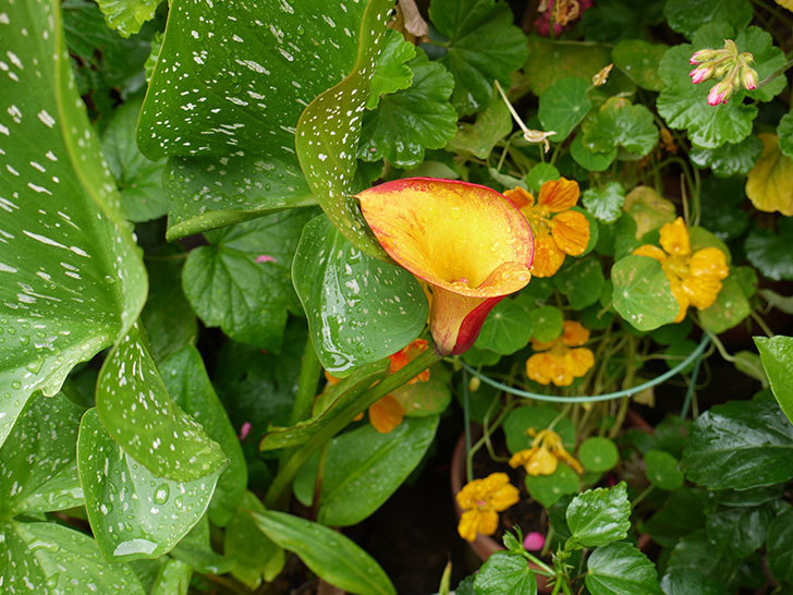 黄色のカラーに2個目の花が咲いた。2016年-4.jpg