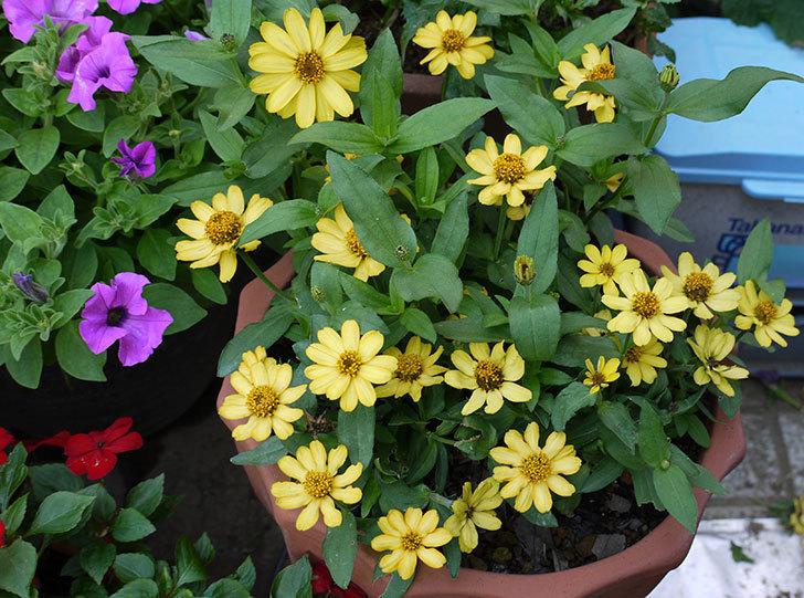 黄色のジニア(百日草)がたくさん咲いた。2015年-1.jpg