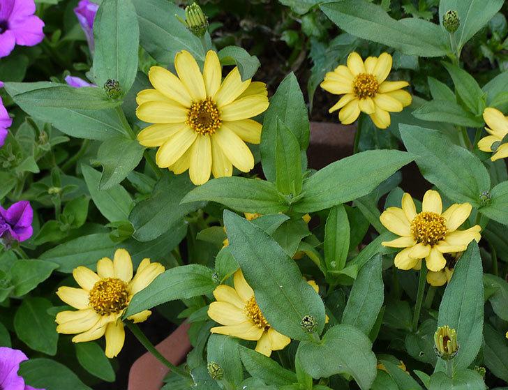 黄色のジニア(百日草)がたくさん咲いた。2015年-2.jpg