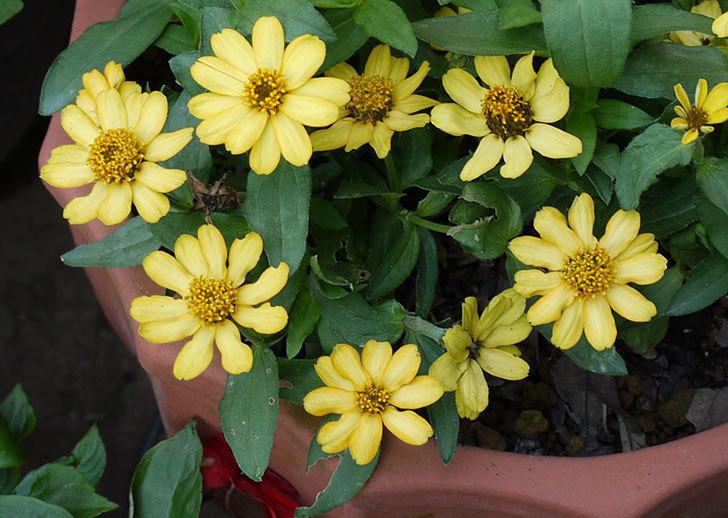 黄色のジニア(百日草)がたくさん咲いた。2015年-3.jpg