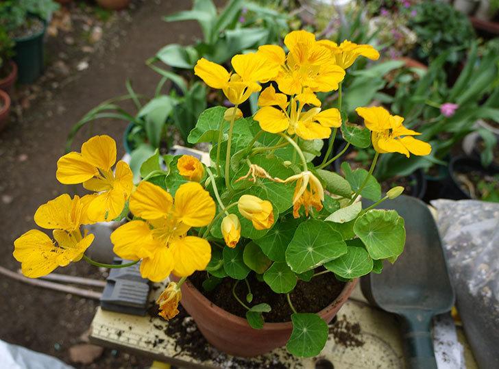 黄色のナスタチューム(キンレンカ)を鉢に植えた。2016年-1.jpg