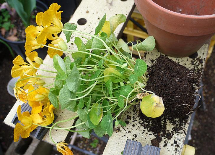 黄色のナスタチューム(キンレンカ)を鉢に植えた。2016年-2.jpg