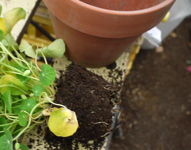黄色のナスタチューム(キンレンカ)を鉢に植えた。2016年-3.jpg