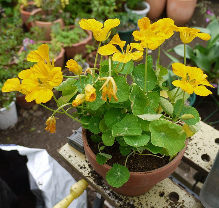 黄色のナスタチューム(キンレンカ)を鉢に植えた。2016年-4.jpg