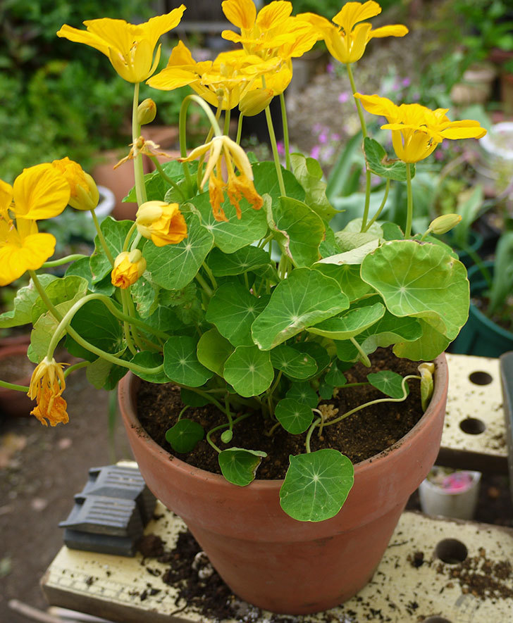 黄色のナスタチューム(キンレンカ)を鉢に植えた。2016年-5.jpg