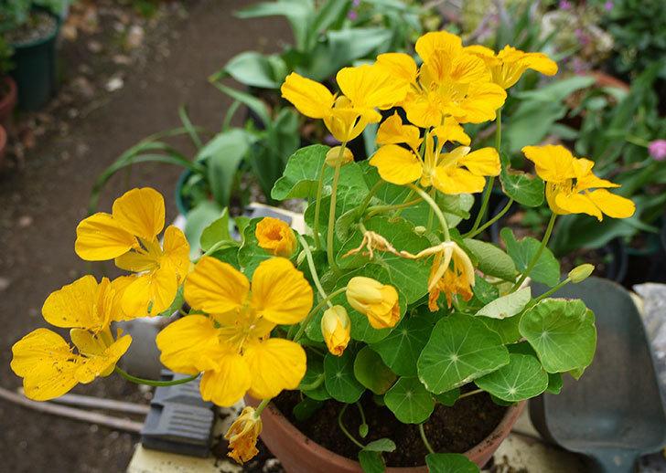 黄色のナスタチューム(キンレンカ)を鉢に植えた。2016年-6.jpg