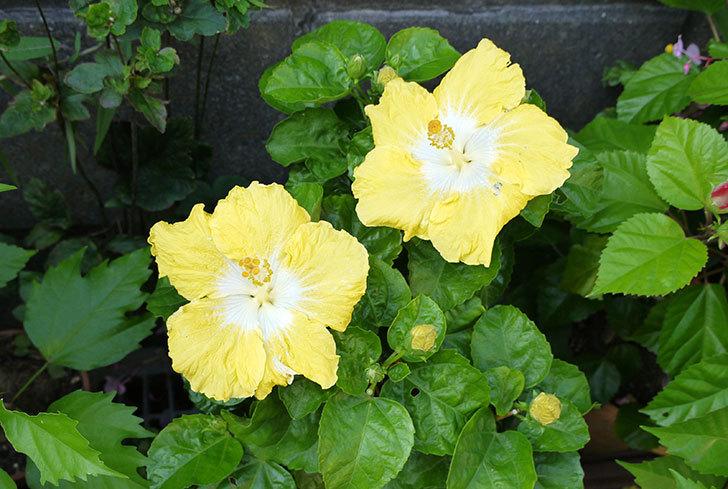 黄色のハイビスカスが2個同時に咲いた1.jpg