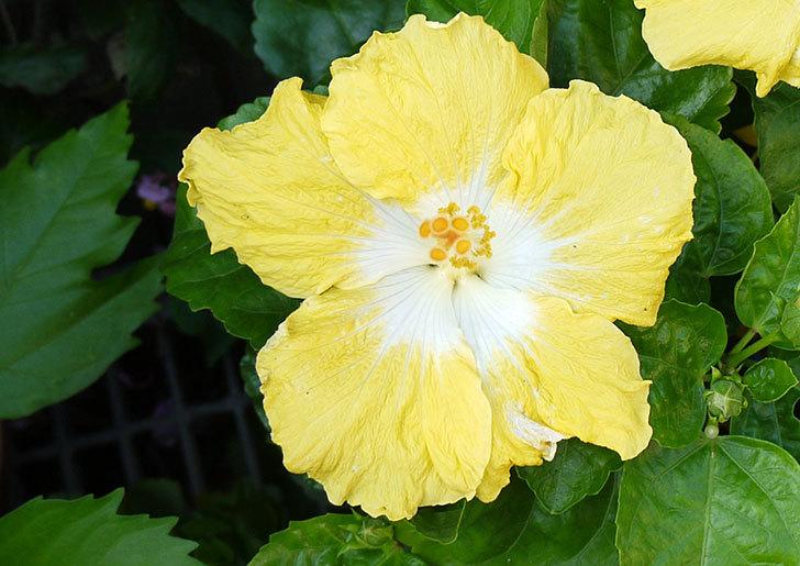 黄色のハイビスカスが2個同時に咲いた2.jpg