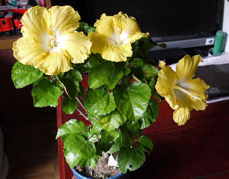 黄色のハイビスカスが3個同時に咲いた1.jpg