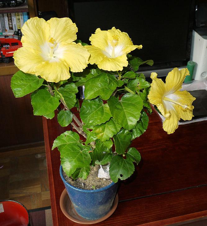 黄色のハイビスカスが3個同時に咲いた2.jpg
