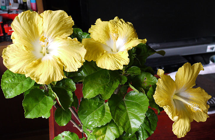 黄色のハイビスカスが3個同時に咲いた3.jpg