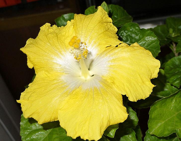 黄色のハイビスカスが3個同時に咲いた4.jpg