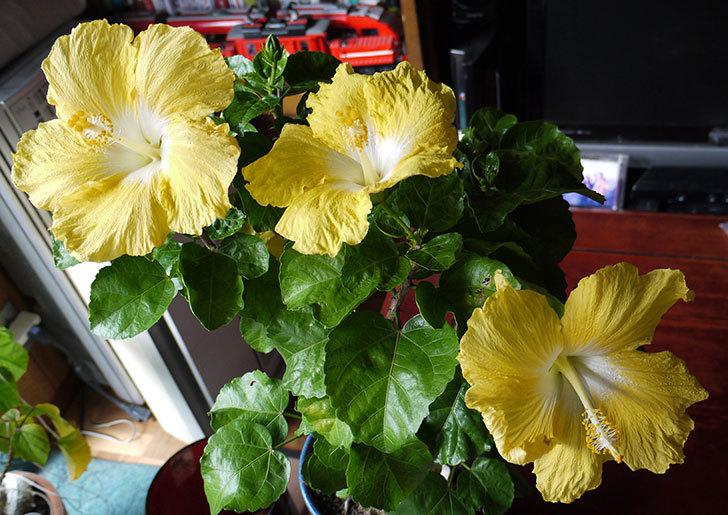 黄色のハイビスカスが3個同時に咲いた8.jpg