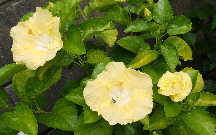 黄色のハイビスカスが同時に4個咲いた。2015年-1.jpg