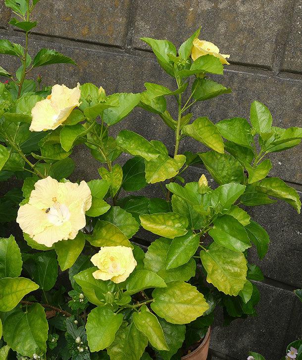 黄色のハイビスカスが同時に4個咲いた。2015年-2.jpg