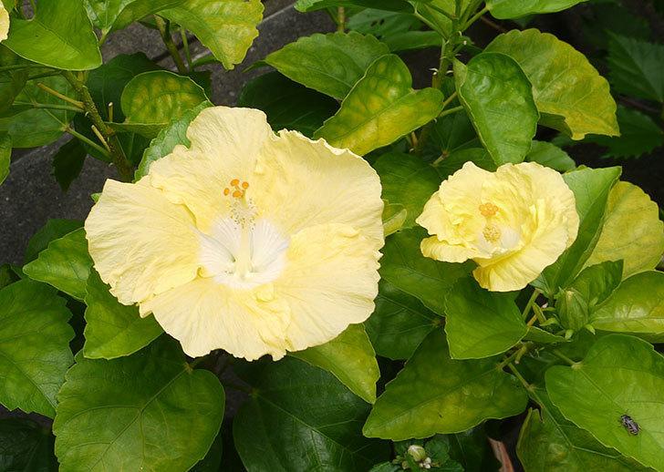 黄色のハイビスカスが同時に4個咲いた。2015年-3.jpg