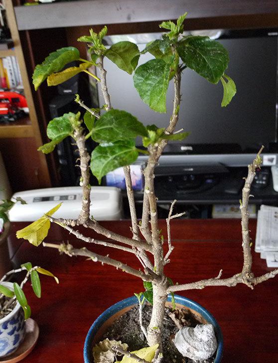 黄色のハイビスカスの剪定をして切った枝を挿し木した2.jpg