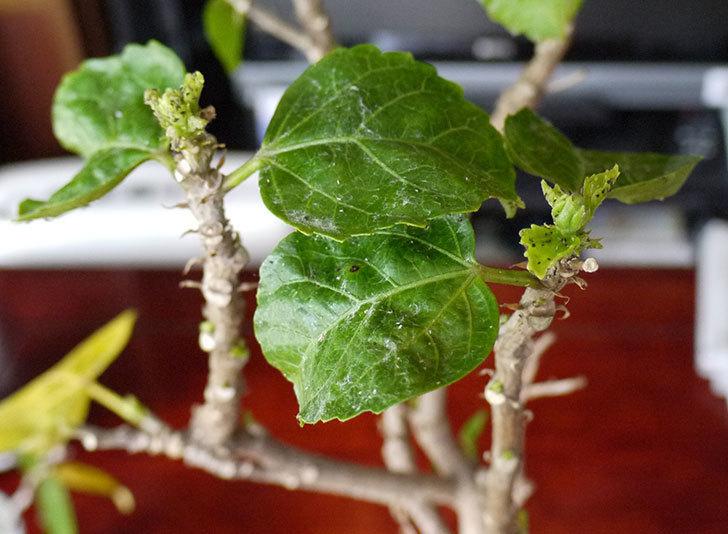 黄色のハイビスカスの剪定をして切った枝を挿し木した4.jpg