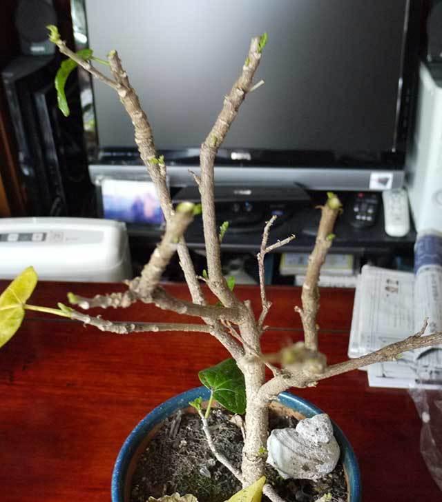 黄色のハイビスカスの剪定をして切った枝を挿し木した5.jpg