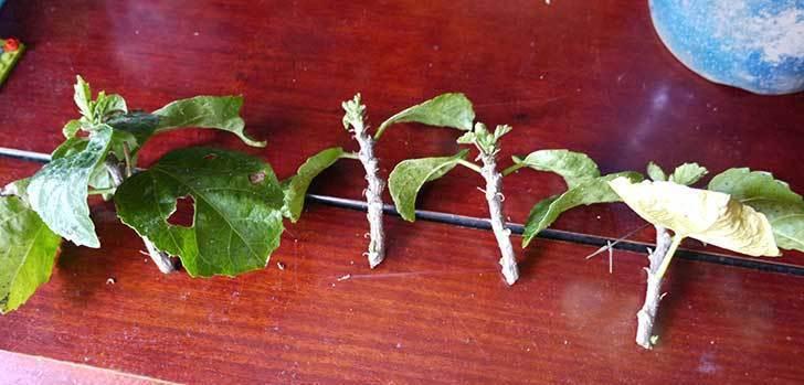 黄色のハイビスカスの剪定をして切った枝を挿し木した6.jpg