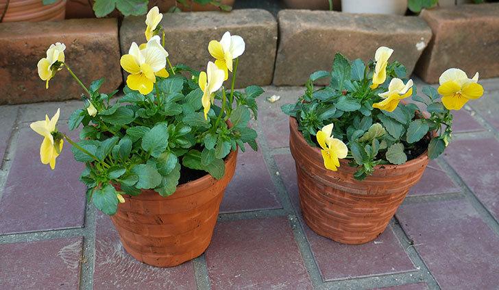 黄色のビオラを100均で買った鉢に植えた1.jpg