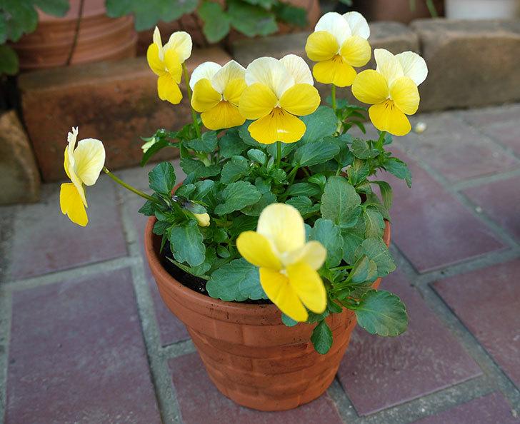 黄色のビオラを100均で買った鉢に植えた2.jpg