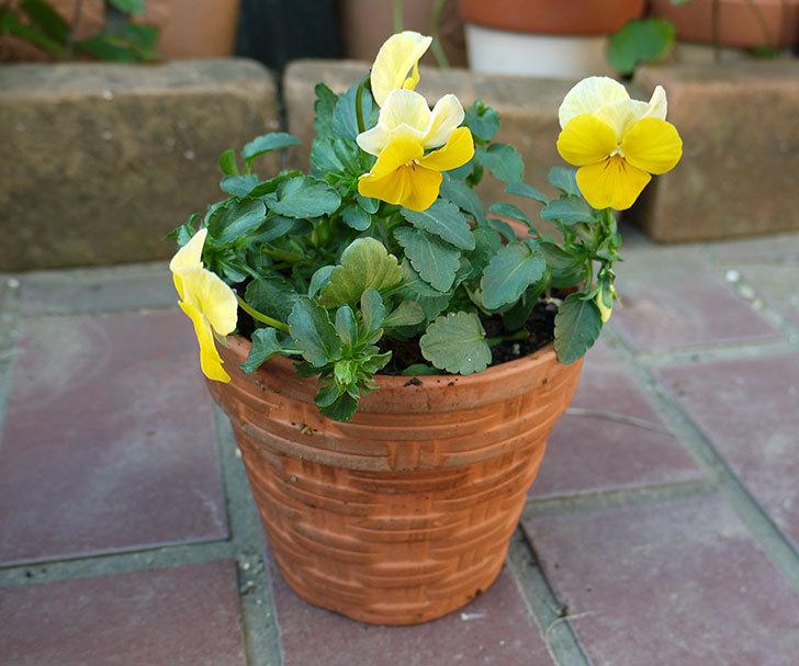 黄色のビオラを100均で買った鉢に植えた3.jpg