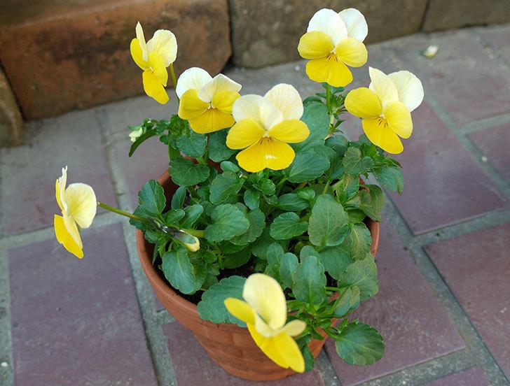 黄色のビオラを100均で買った鉢に植えた4.jpg