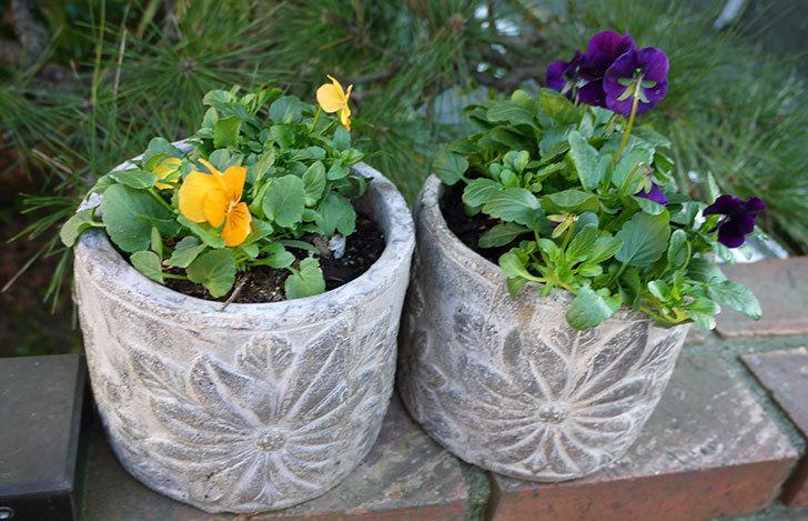 黄色のビオラを100均で買った鉢に植えた6.jpg
