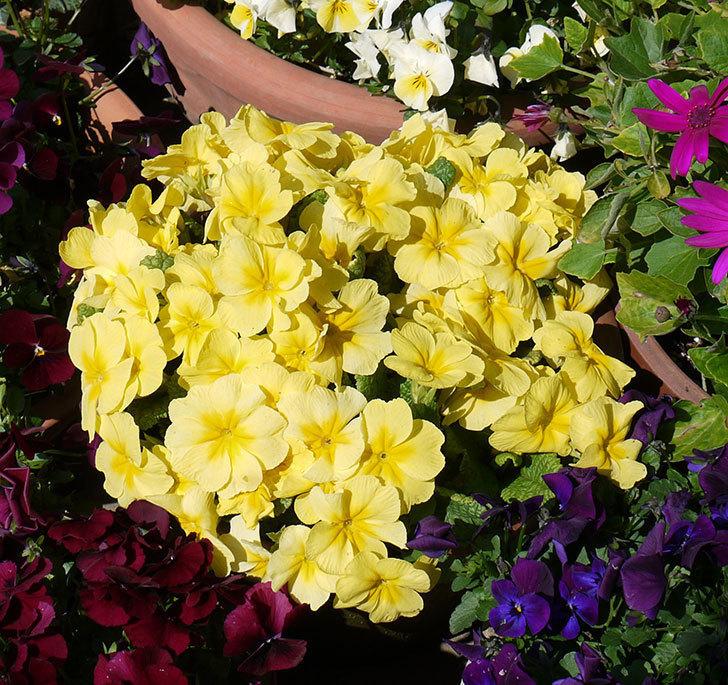 黄色のプリムラ・ジュリアンがたくさん咲いた。2017年-1.jpg