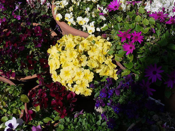 黄色のプリムラ・ジュリアンがたくさん咲いた。2017年-2.jpg