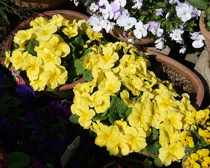 黄色のプリムラ・ジュリアンがたくさん咲いた。2017年-4.jpg
