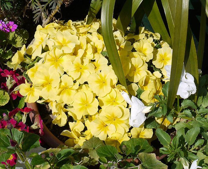 黄色のプリムラ・ジュリアンがたくさん咲いた。2017年-5.jpg