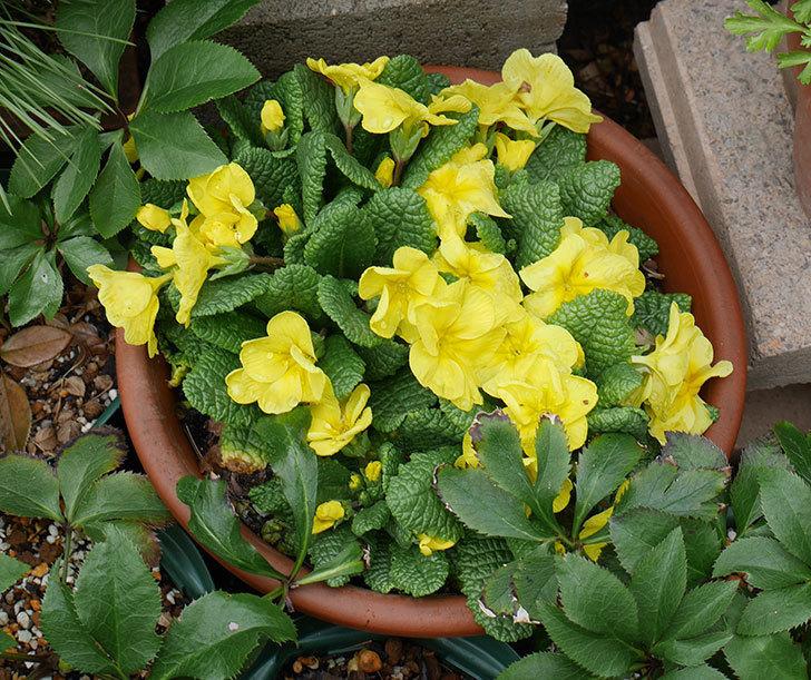 黄色のプリムラ・ジュリアンが咲きだした。2018年-1.jpg