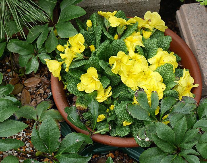 黄色のプリムラ・ジュリアンが咲きだした。2018年-3.jpg