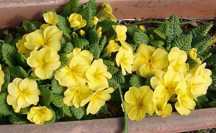 黄色のプリムラ・ジュリアンが大量に咲いた1.jpg