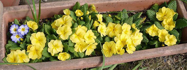 黄色のプリムラ・ジュリアンが大量に咲いた2.jpg