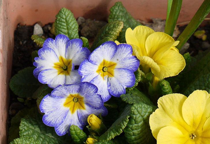 黄色のプリムラ・ジュリアンが大量に咲いた3.jpg