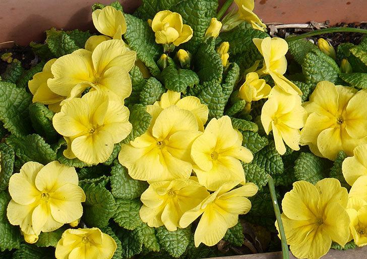 黄色のプリムラ・ジュリアンが大量に咲いた4.jpg