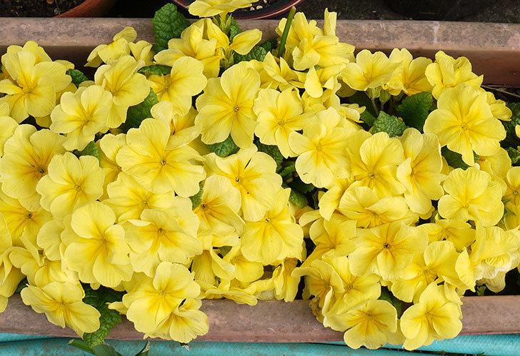 黄色のプリムラ・ジュリアンが密集して大量に咲いた。2015年-1.jpg