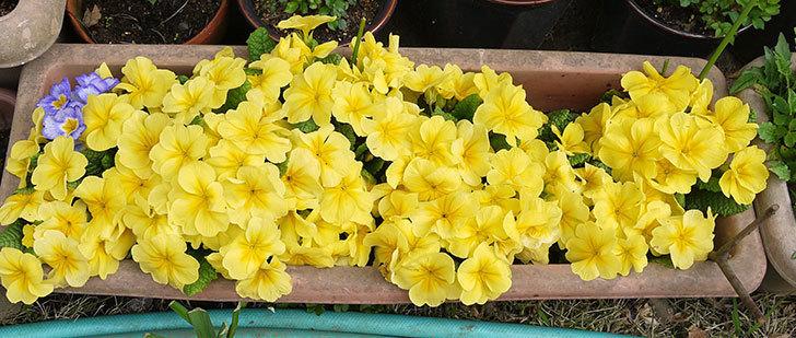 黄色のプリムラ・ジュリアンが密集して大量に咲いた。2015年-2.jpg