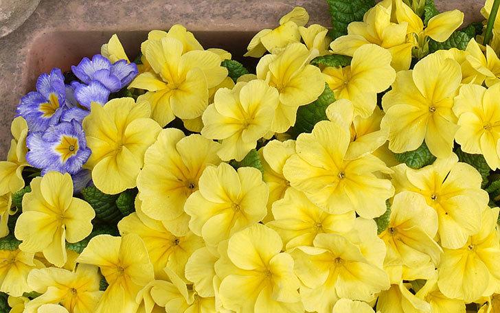 黄色のプリムラ・ジュリアンが密集して大量に咲いた。2015年-3.jpg