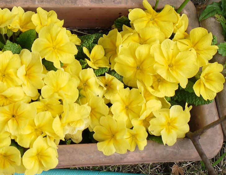 黄色のプリムラ・ジュリアンが密集して大量に咲いた。2015年-4.jpg