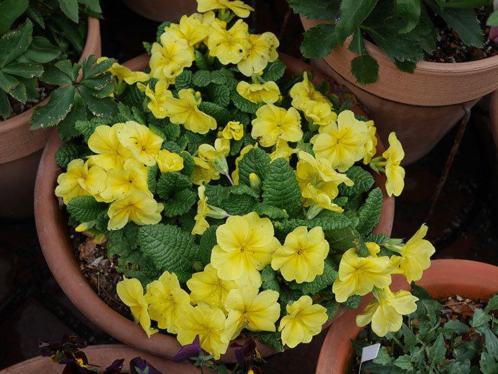 黄色のプリムラ・ジュリアンの花がかなり咲いた。2020年-1.jpg
