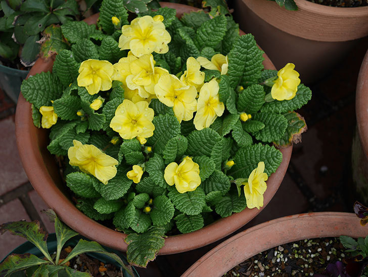 黄色のプリムラ・ジュリアンの花がかなり咲いた。2020年-2.jpg