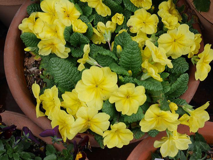 黄色のプリムラ・ジュリアンの花がかなり咲いた。2020年-4.jpg