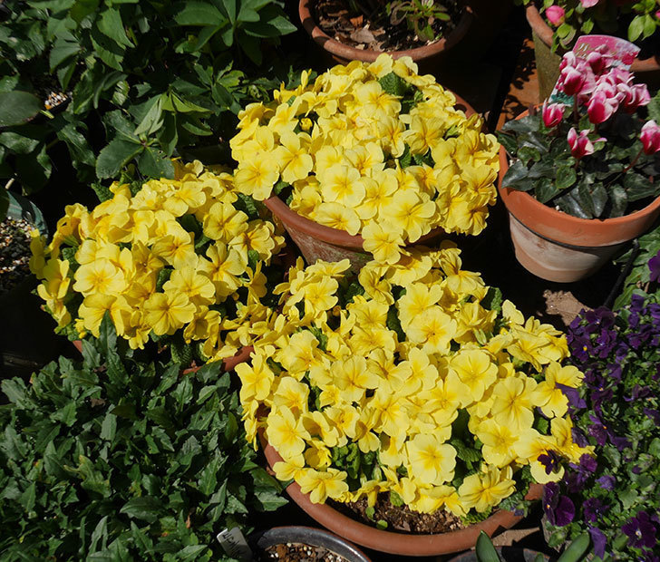 黄色のプリムラ・ジュリアンの花がたくさん咲いた。2019年-1.jpg