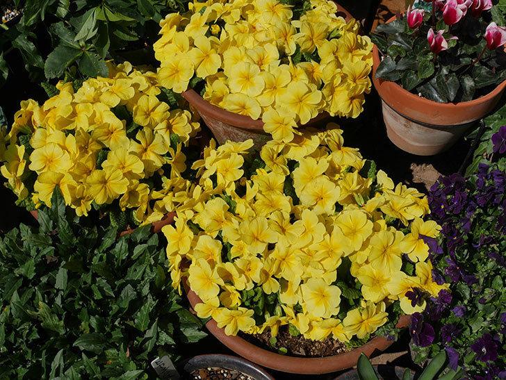 黄色のプリムラ・ジュリアンの花がたくさん咲いた。2019年-2.jpg