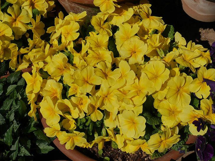 黄色のプリムラ・ジュリアンの花がたくさん咲いた。2019年-3.jpg